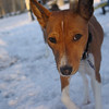 Chloe (basenji girl) snow 2