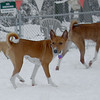 Chloe (basenji girl) snow 3