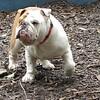 DIESEL (bulldog , 1yr )_00001