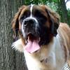 FINN (Saint Bernard, Pup) (07 - 24 - 07)