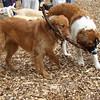 DAKOTA (golden retriever), FINN (st. bernard pup), LEXXI (silver lab pup)