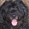LIZZIE (portuguese water dog)
