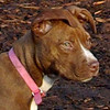 MOCHA (pit pup)