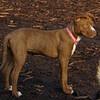 MOCHA (pit pup) smaller, lighter