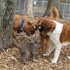 LEXXI (silver lab pup ) & Dakota, Finn, Rocky