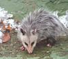 possum sm b