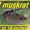 actual possum/muskrat of attack