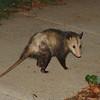 opossum b