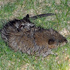 possum or muskrat was dead
