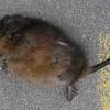 dead muskrat1b