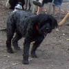 LIZZIE Portuguese Water Dog 12 yrs, FAITH