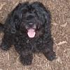 Lizzie ( P  water dog , 12 yrs )