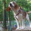 MOLLY (beagle pup) (08/29/07)