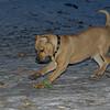 Sampson (pitbull puppy)_00005