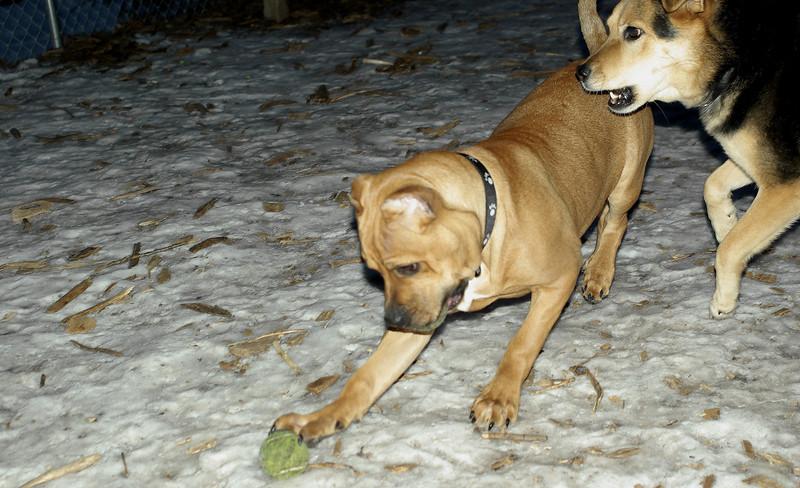 Sampson (pitbull puppy)_00003