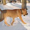 Sampson (pitbull puppy)_00001