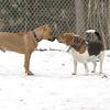 Sampson (pitbul puppy), Chelsea_00001