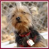 BAILEY (pup,  yorkie) cover