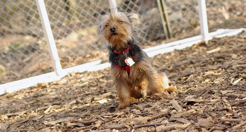 BAILEY (pup, yorkie) 2.