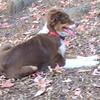 BAXTER (australian Shepherd, PUP) (10/06/07)