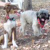 BAXTER (australian shepherd pup) & KOBE