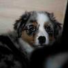 a dallas pup