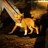 COSMO (staffy puppy)_2