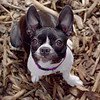 RILEY (boston terrier puppy)_5