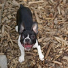 RILEY (boston terrier puppy)_7