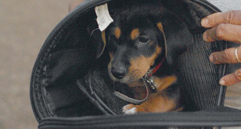 Gracie ( puppy, of pistachio & gracie) 2
