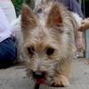 LEMMY (Cairn Pup) (08/09/07)