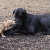 LUNA (cockapoo pup), HARLEY (great dane) (06-03-07)