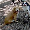 LUNA (pup, cockapoo), SOPHIE (japanese chin)
