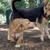 LUNA (cockapoo puppy),  MADDIE (indiana stockdog)