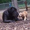 LUNA (cockapoo pup), HARLEY (great dane)