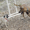 PUG PUP (forgot name) , Maggie (new) May 5