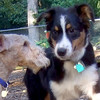 OLIVER  (australian shepherd pup), CHASE (lakedale terrier pup)