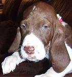 PHOEBE ( bracco italiano) female pup