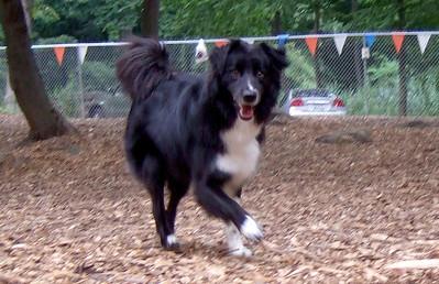 HUDSON (border collie, pup) (07/30/07)