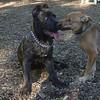 CHARLIE (3.5 month girl), LUSCUS  (italian mastiff pup)