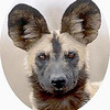 1153098~African-Wild-Dog-Portrait-South-Africa-Posters