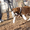 RUBY (boxer pup) 22