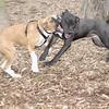 RUBY (boxer pup), Shadow (pitbull pup) 2