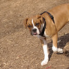 RUBY (boxer pup) 44