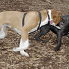 RUBY (boxer pup), Shadow (pitbull pup) 5