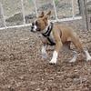RUBY (boxer pup), Shadow (pitbull pup)