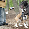RUBY (boxer pup), Shadow (pitbull pup) 3