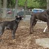 SHADOW (pitbull pup) , ruby, hudson 2