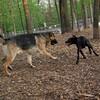 Shadoe (pitbull pup) & Keiser