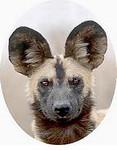 1153098~African-Wild-Dog-